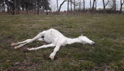 Maltrato animal en Ezeiza: rescataron a 420 caballos desnutridos