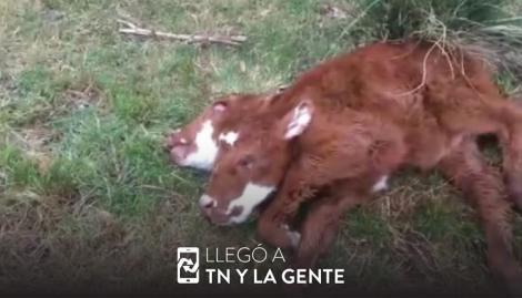 Nació una ternera con dos cabezas en el sur bonaerense y sobrevivió 12 horas