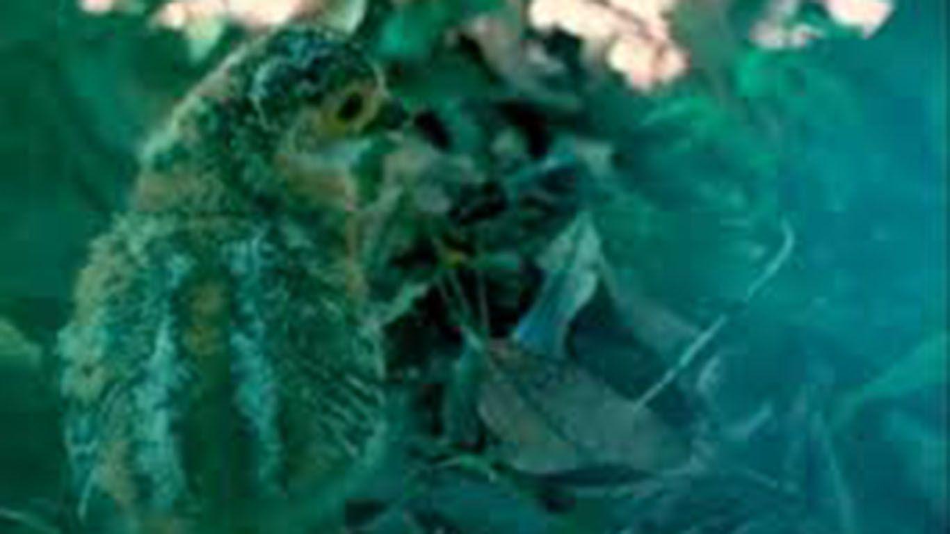 en-los-esteros-del-ibera-nacieron-los-primeros-dos-pichones-de-un-ave-extinguida-y-reintroducida-en-corrientes