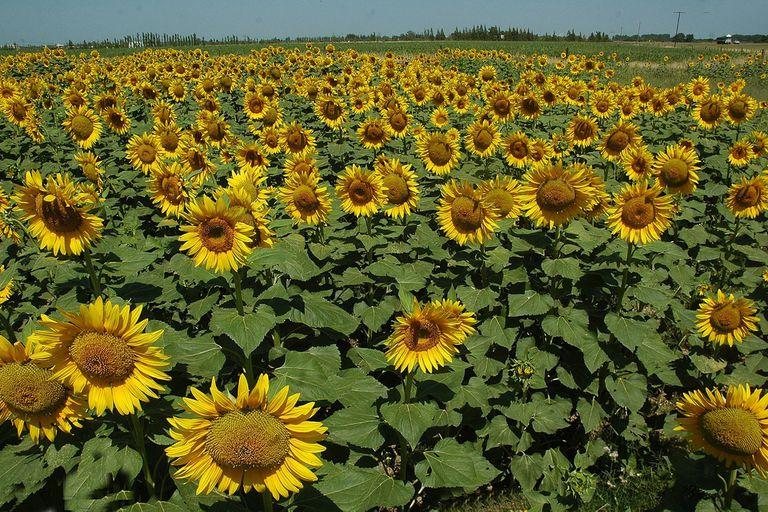 girasol:-el-cultivo-con-mayor-precio-unitario